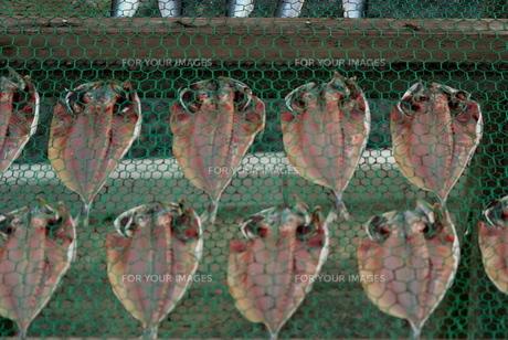 鯵の干物の写真素材 [FYI00182100]