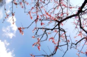 梅の写真素材 [FYI00182134]