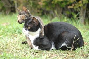 親子猫の写真素材 [FYI00185656]