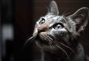 見上げる猫の写真素材 [FYI00185679]