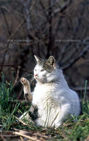 招き猫の写真素材 [FYI00185680]