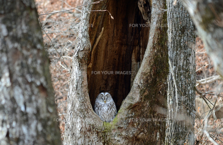 フクロウと巣の写真素材 [FYI00185883]