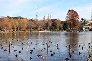 不忍池からの東京3スカイツリーの写真素材 [FYI00185963]