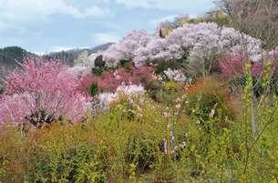 花見山の春の写真素材 [FYI00186312]