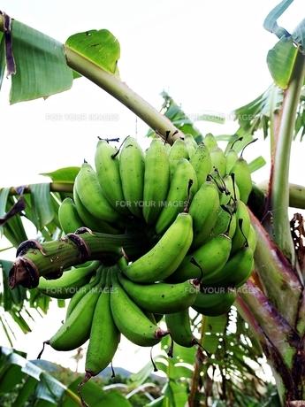 石垣島の島バナナの写真素材 [FYI00186353]
