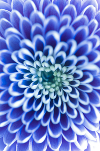 Chrysanthemum (菊)の素材 [FYI00186591]