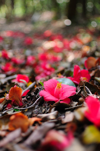 落ちて尚煌く椿の花の写真素材 [FYI00186605]