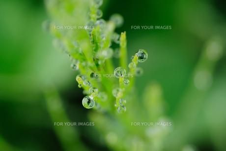 朝露に濡れる杉菜の写真素材 [FYI00186608]