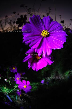 夜露を輝かせて咲くコスモスの写真素材 [FYI00186621]