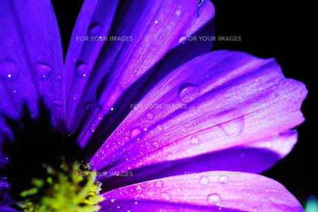 コスモスの花びらに付く夜露の写真素材 [FYI00186643]