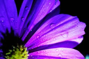 コスモスの花びらに付く夜露の素材 [FYI00186643]