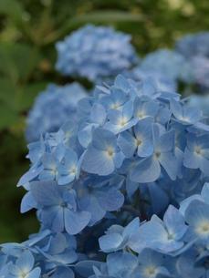 紫陽花の写真素材 [FYI00186689]