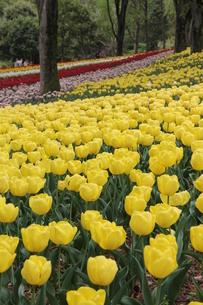 チューリップが咲く公園の素材 [FYI00186742]