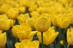 黄色のチューリップの素材 [FYI00186745]