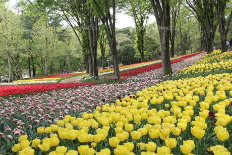 チューリップが咲く公園の素材 [FYI00186750]