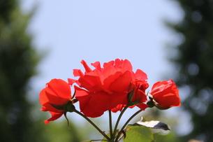 薔薇の写真素材 [FYI00186764]