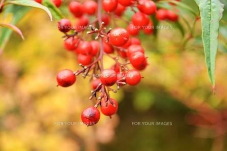 赤い実の素材 [FYI00186875]