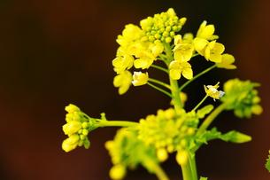 菜の花の写真素材 [FYI00186881]