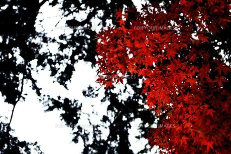 黒赤もみじの素材 [FYI00186892]