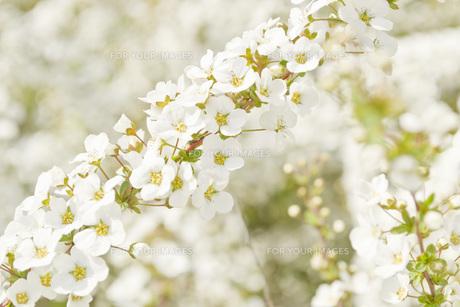 春の小花の素材 [FYI00186915]