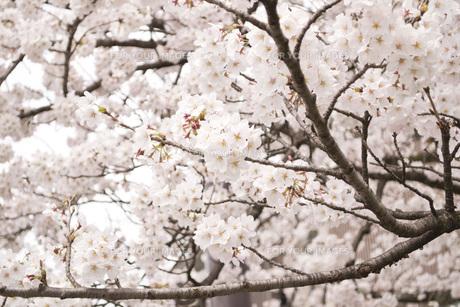 桜の素材 [FYI00186916]