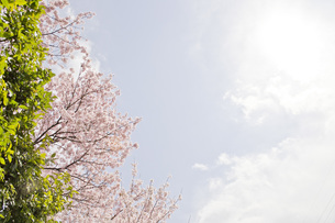 桜日和の素材 [FYI00186918]