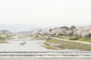 春の川の素材 [FYI00186919]