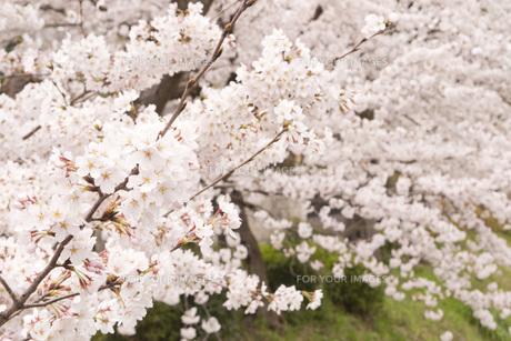 桜満開の素材 [FYI00186920]