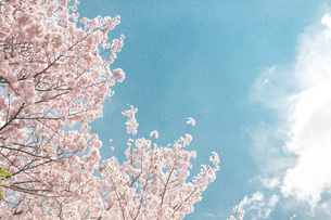 桜日和の素材 [FYI00186927]