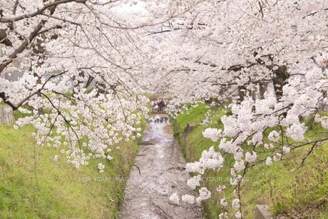 桜の川の素材 [FYI00186928]