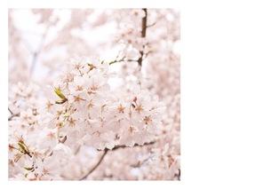 postcard sakuraの写真素材 [FYI00186940]