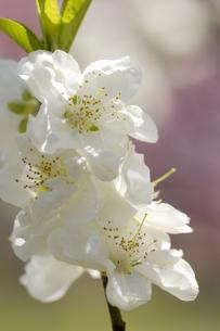桃の花の写真素材 [FYI00187065]