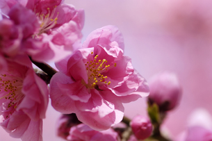 桃の花の写真素材 [FYI00187070]