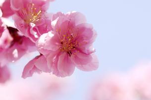 桃の花の写真素材 [FYI00187074]