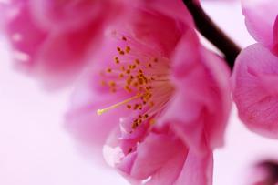 桃の花の写真素材 [FYI00187078]