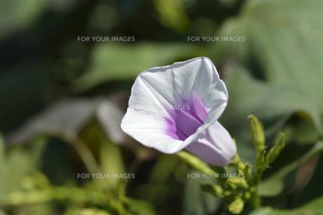 さつまいもの花の写真素材 [FYI00187294]
