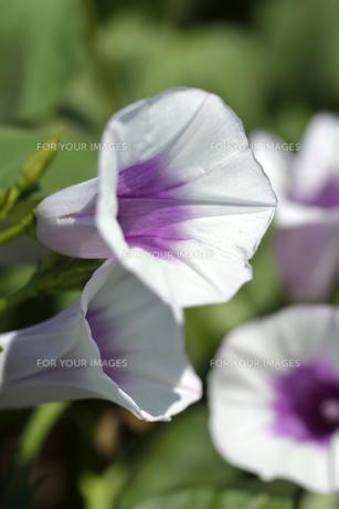 さつまいもの花の写真素材 [FYI00187316]
