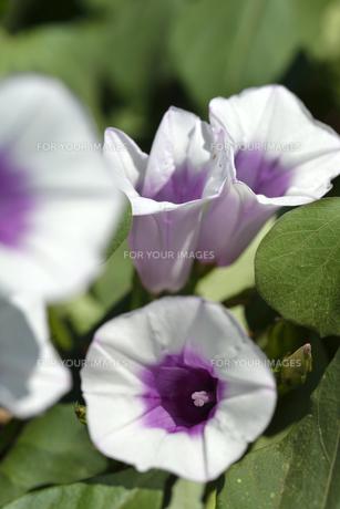 さつまいもの花の写真素材 [FYI00187318]