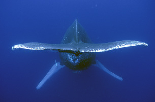 Whale Tailの写真素材 [FYI00187900]