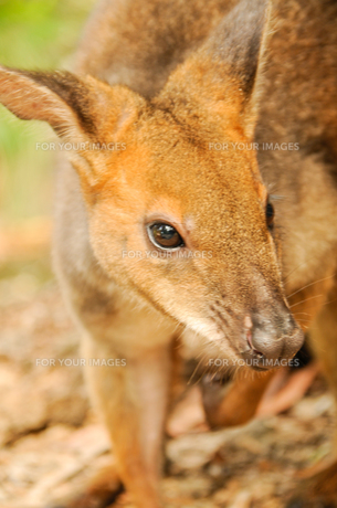 Wallabyの写真素材 [FYI00187911]