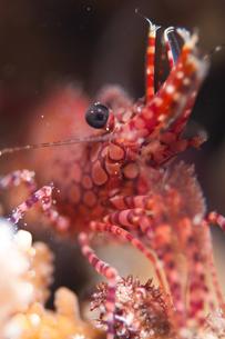 サンゴモエビの写真素材 [FYI00187919]