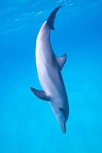 Swim with Dolphinの写真素材 [FYI00187920]