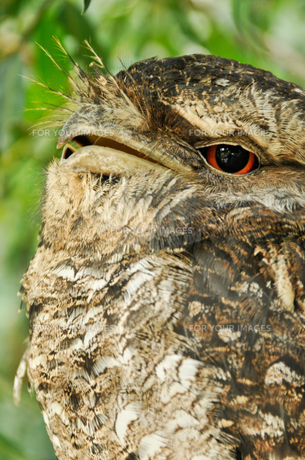 Sleepy Owlの写真素材 [FYI00187921]
