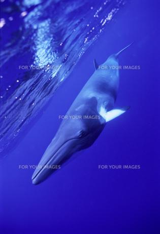 ミンキー・ミンククジラの写真素材 [FYI00187926]