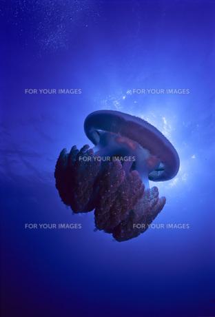 大きなクラゲの写真素材 [FYI00187937]