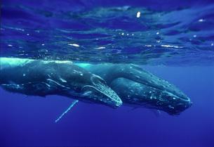 クジラの休憩の写真素材 [FYI00187942]