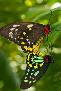 ケアンズの名前がついた蝶の写真素材 [FYI00187949]
