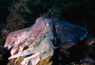 オーストラリアの巨大イカの写真素材 [FYI00187950]