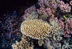 サンゴの産卵の写真素材 [FYI00187951]