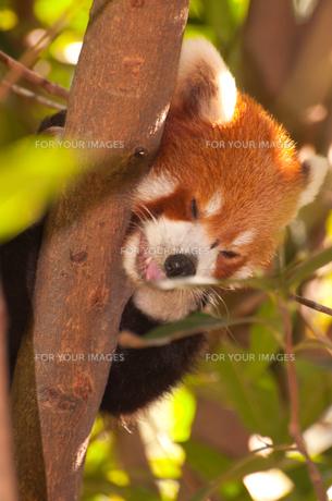 お眠りレッサーパンダの写真素材 [FYI00187958]